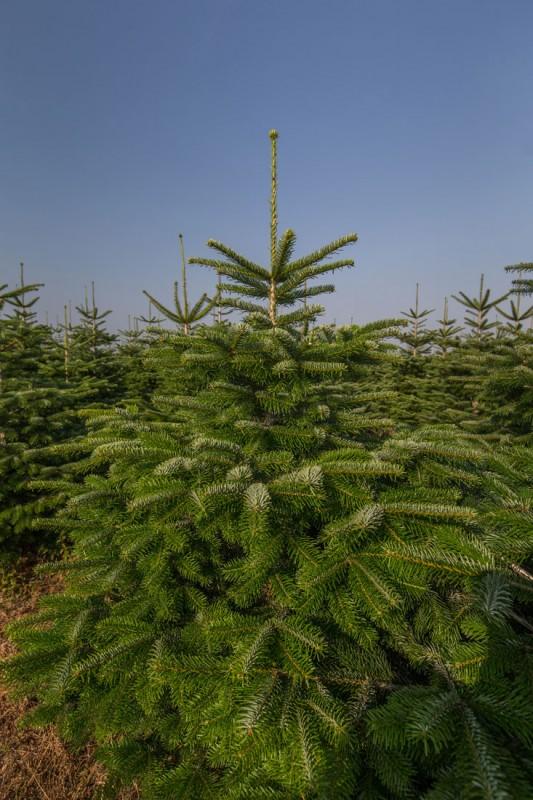 Nordmanntanne Als Weihnachtsbaum Weihnachtsbaumland