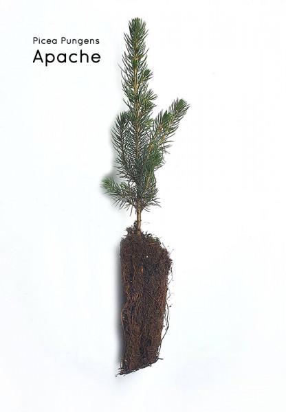 Blaufichte Containerpflanzen Picea Pungens Herkunft Apache 12-20cm
