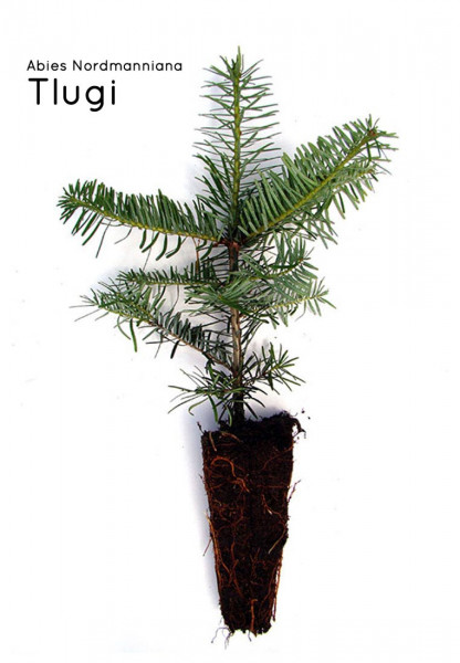 Nordmanntanne Containerpflanzen Herkunft Tlugi 15-30cm